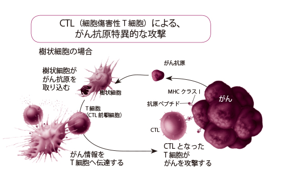 まず、司令塔である樹状細胞が、がん細胞の断片である「がん抗原タンパク質」を取り込み、取り込んだがんの情報を、攻撃部隊であるCTL(細胞傷害性T細胞)に伝達する。情報を受け取ったCTLは、がん細胞の表面上に提示されたMHCクラスⅠという分子とがん抗原を手がかりにがん細胞を見分けて攻撃する。しかし、なかにはMHCクラスⅠがほとんど消失していたり、発現が低下していたりするがん細胞もあり、その場合CTLはこれらのがん細胞を認識することができない。この現象を「エスケープ現象」という。