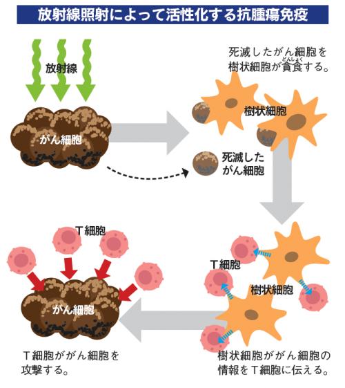放射線照射により活性化する免疫力